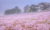 Đồi cỏ hồng Lâm Đồng khiến du khách mê mẩn