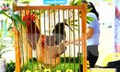 Độc đáo cuộc thi 'vua gà Tiên Yên'