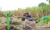 Ngành mía đường Ðồng bằng sông Cửu Long: Trước nguy cơ xóa sổ