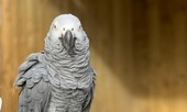 Đàn vẹt bị nhốt vì dạy nhau nói bậy, rồi cùng chửi bởi khách tham quan