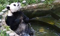 Chú gấu trúc siêng năng tắm rửa nhất thế giới