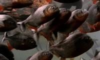 Chim diệc non rơi khỏi tổ bị bầy cá piranha lao tới xé xác