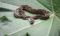Phát hiện rắn viper hai đầu hiếm gặp