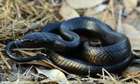 Rắn chàm phương Đông khiến rắn kịch độc sợ phát khiếp