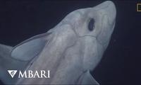 """Hình ảnh hiếm có đầy ấn tượng về """"cá mập ma"""" dưới đại dương"""
