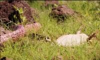Thằn lằn giả chết ngoạn mục đánh lừa rắn đói mồi