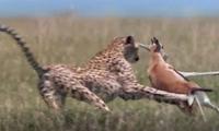 Linh dương nhận 'cái kết đắng' khi chạm mặt báo săn