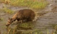 Nai sừng xám kéo lê cá sấu lên bờ để thoát thân