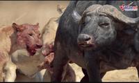 Trâu rừng bị cả đàn sư tử cắn tàn bạo, xé thịt đến chết