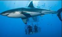 Cá mập trắng tấn công lồng bảo hộ có du khách bên trong