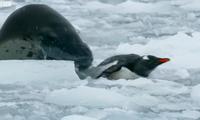 Chim cánh cụt thoát chết ngoạn mục khi bị hải cẩu báo dài 3 mét săn đuổi