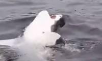 Khoảnh khắc cực hiếm và thú vị khi cá mập 'bơi ngửa'