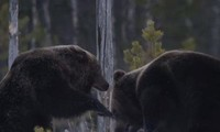 Hai con gấu nâu kịch chiến để giành mồi