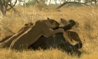 Sư tử xúm lại quật ngã voi nặng hai tấn