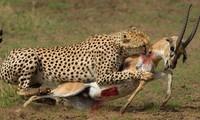 Cách báo hoa mai tạo bẫy săn mồi hiệu quả