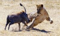 Cuộc chiến không cân sức giữa sư tử và lợn bướu