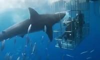 Cá mập trắng lao đầu vào lồng sắt tấn công người và cái kết bi thảm