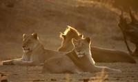 Sư tử chọn giết trâu đực để cả đàn đủ ăn