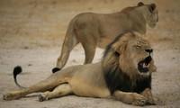 Sư tử bị lạc vì mải bám theo bạn tình