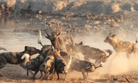 Cách săn mồi theo nhóm của chó hoang
