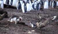 Chim cướp biển nuốt chửng chim cánh cụt non