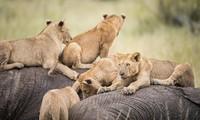 Chiến thuật bảo vệ con non của đàn voi trước kẻ săn mồi