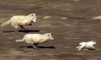 Chiến thuật giúp sói Bắc Cực vây bắt con mồi thành công