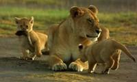 Sư tử mẹ đơn độc săn mồi nuôi con