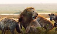 Cuộc đọ sức giữa sư tử và 20 con linh cẩu