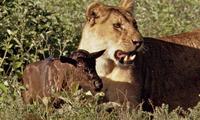 Linh dương đầu bò con coi sư tử như mẹ ruột