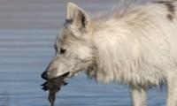 Chó sói Bắc Cực săn vịt con