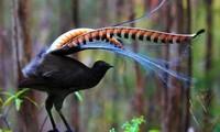 Loài chim có khả năng nhại theo hầu hết âm thanh