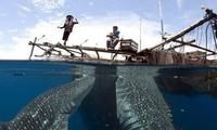 Ngư dân Indonesia cho đàn cá nhám voi khổng lồ ăn