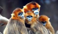 Loài khỉ mặt xanh, mũi phẳng, sống tại vùng núi tuyết