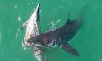 Cá mập trắng ăn thịt cá heo trên biển