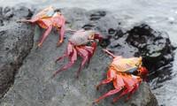 Lươn biển phối hợp bạch tuộc để bắt cua đá đỏ