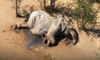 Cái chết bí ẩn của hơn 400 con voi