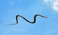 Kiểu di chuyển kỳ lạ của rắn bay