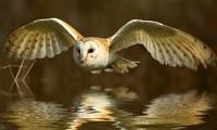 Loài chim bay không gây tiếng động