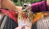 Kỳ lạ, chim có nửa cơ thể là đực, nửa là cái