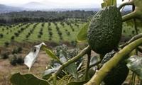 Trang trại trồng bơ có thể gây động đất ở Mexico