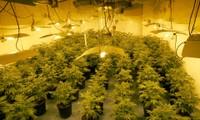 Một nhà trồng cần sa bị cảnh sát Anh phát hiện ở khu tây bắc của thủ đô London. (Ảnh: Guardian)