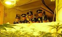 Một vườn cần sa bị cảnh sát Anh phát hiện. (Ảnh: Volteface