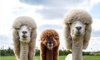 Lạc đà cừu (Alcapa)