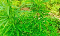 Hơn 100 cây cần sa trồng ở bãi giữa sông Hồng.