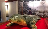 Soi tiêu bản cụ rùa Hồ Gươm tại đền Ngọc Sơn