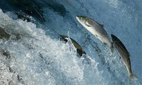 1001 thắc mắc: Cá nước mặn có sống được trong nước ngọt?