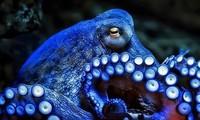 Máu của bạch tuộc có màu xanh nhạt.