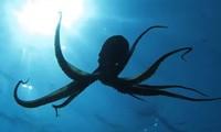 1001 thắc mắc: Vì sao xúc tu bạch tuộc không bị xoắn vào nhau?