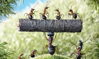 Có khoảng 20.000 loài kiến khác nhau được phát hiện trên Trái Đất